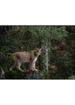 Lynx On Watch