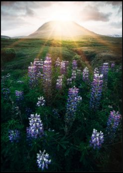 Mountain View Over Lupines