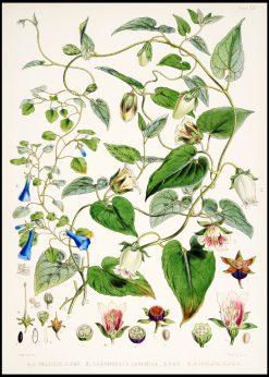 Indian Tobacco Flowers Vintage