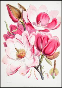 Campbells Magnolia