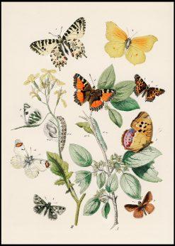 European Butterflies