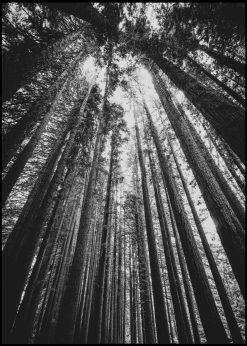 View Toward the Sky In a Forest