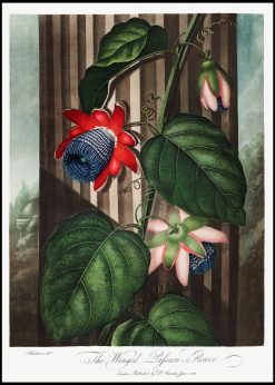 The Winged Passion-Flower Vintage