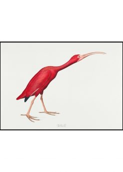 Scarlet Ibis Vintage