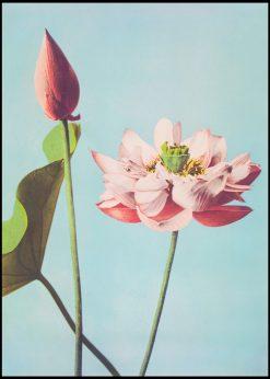 Lotus Flower Vintage