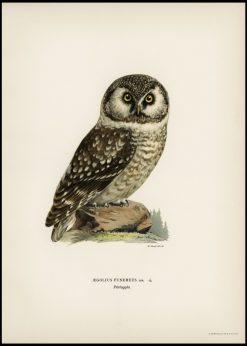 Vintage Boreal Owl