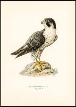 Vintage Peregrine Falcon