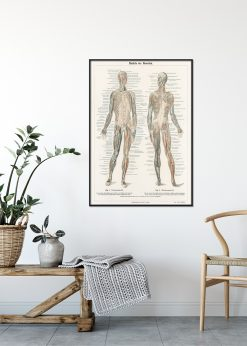 Illustration of The Human Musculature System