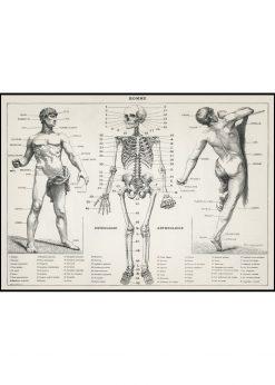 An Antique Osteology